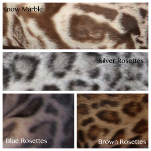 Bengal cat colours