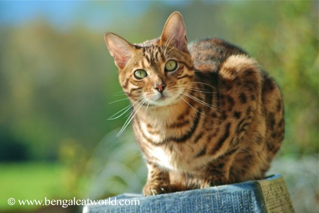 Bengal Cat Facts | Bengal Cat World