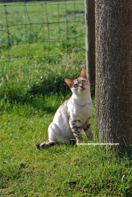 Bengal Cat Blog and Photos