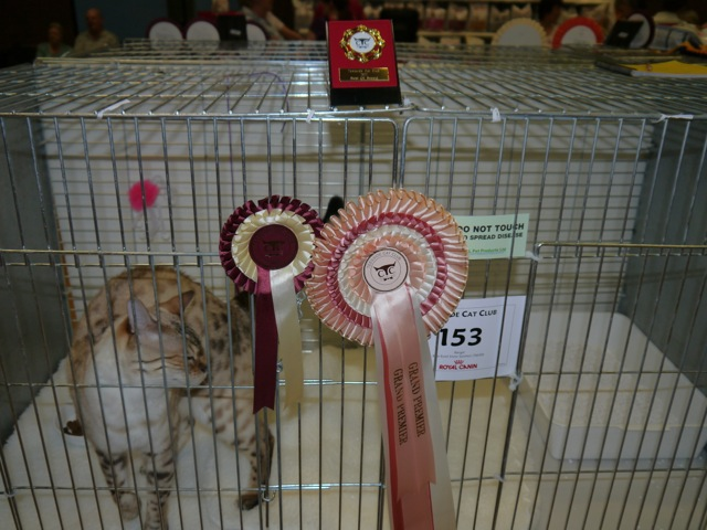 Bengal Cat at Show