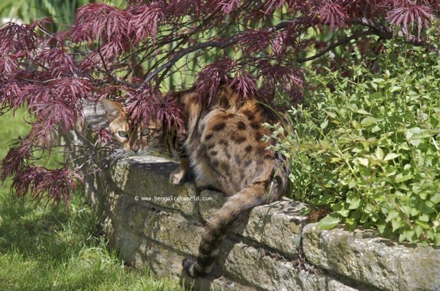 Bengal Cat by the pong