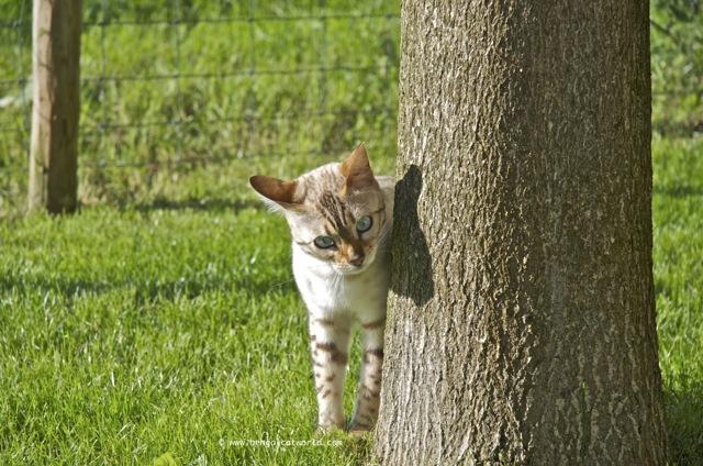 Bengal cat eyeing up tree