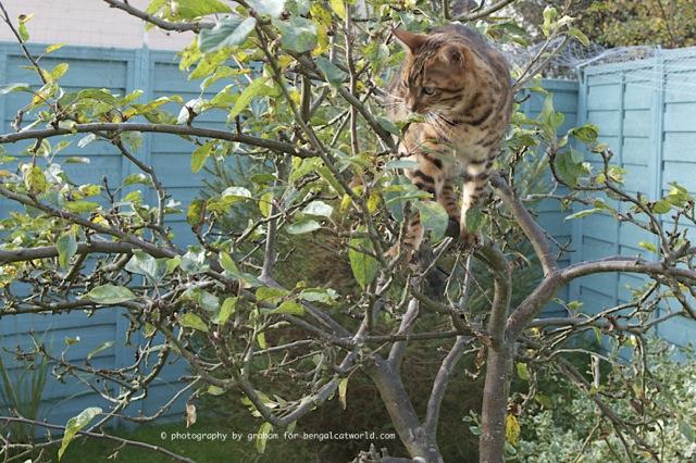 Snow Bengal and Brown Bengal cats