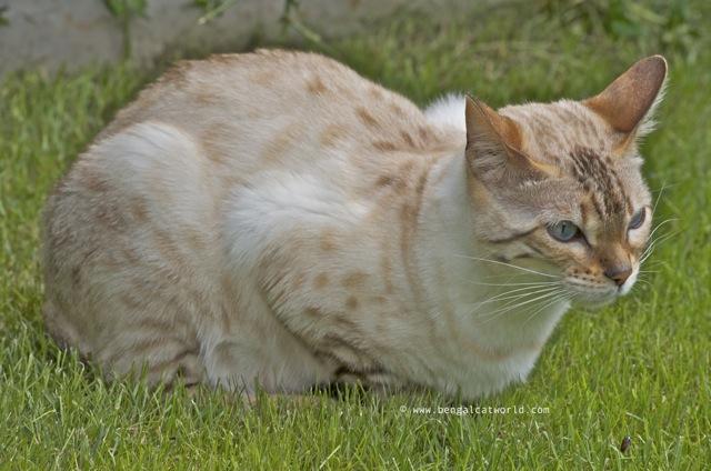 bengal cat blog and photos bengal cat world