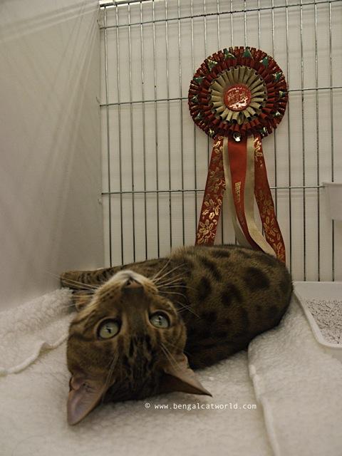 Bengal Cat Blog Photo