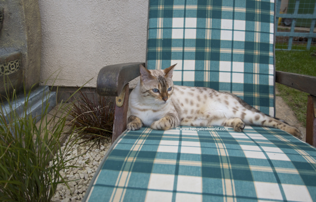 Bengal Cat Blog Photo