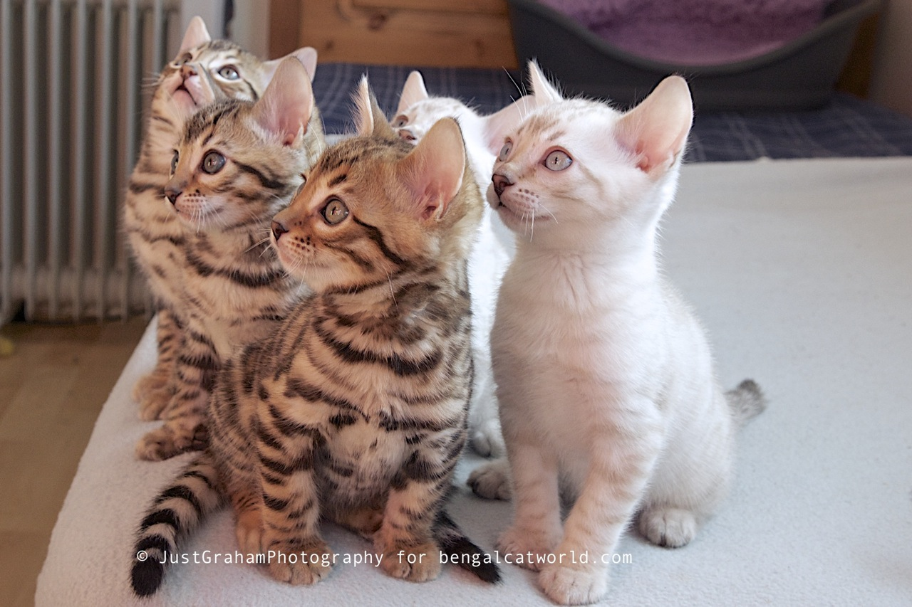 Advice for Bengal Cat owners | Bengal Cat World