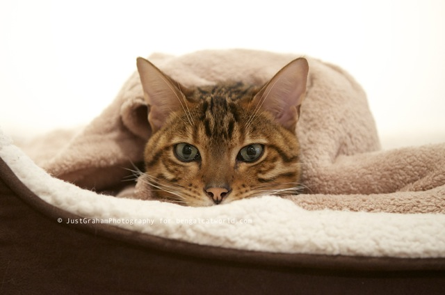 Bengal cat sleeping in his bed