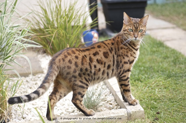 Brown spotty bengal cat