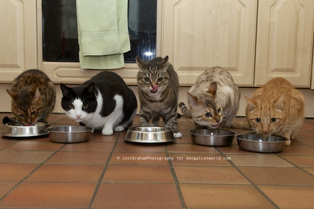 Five cats eating dinner