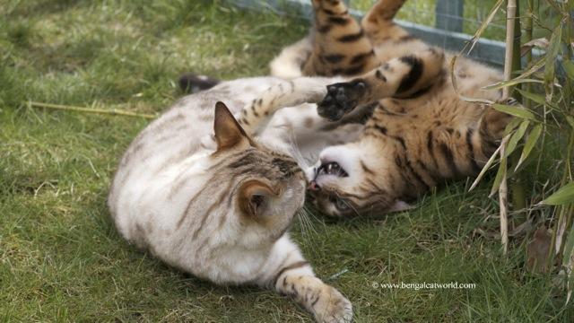 Bengal Cats having fun