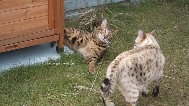 Bengal cats in the garden