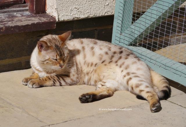 Snow bengal cat sunbathing