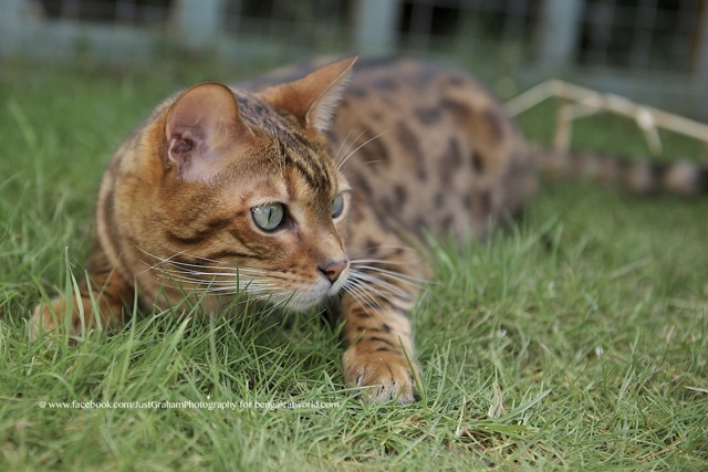Tabby Cat vs Bengal Cat