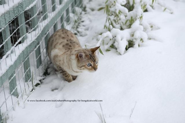 Snow bengal cat