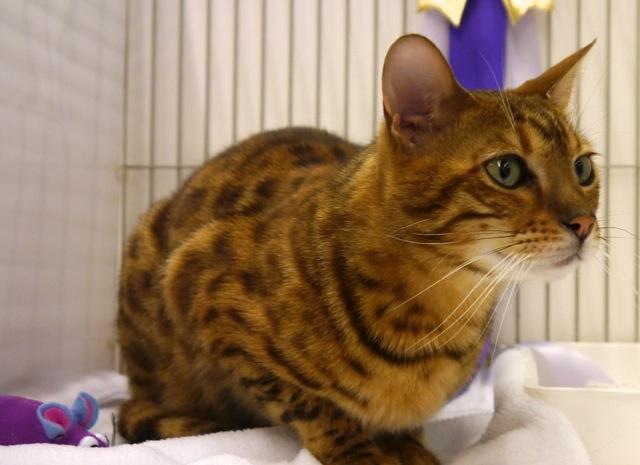 Bengal Cat at Cat Show