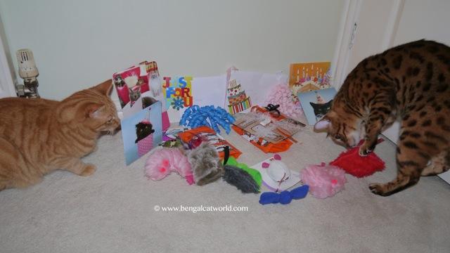 Bengal cat birthday