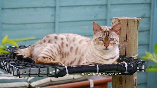 Snow spotted bengal cat