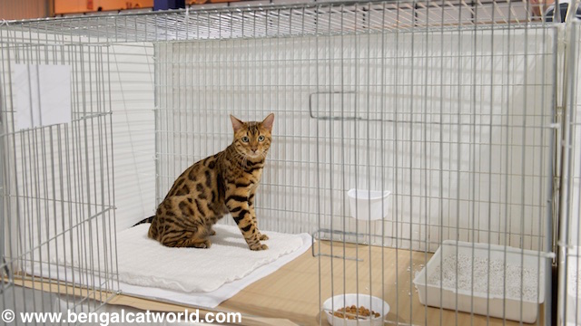 © www.bengalcatworld.com