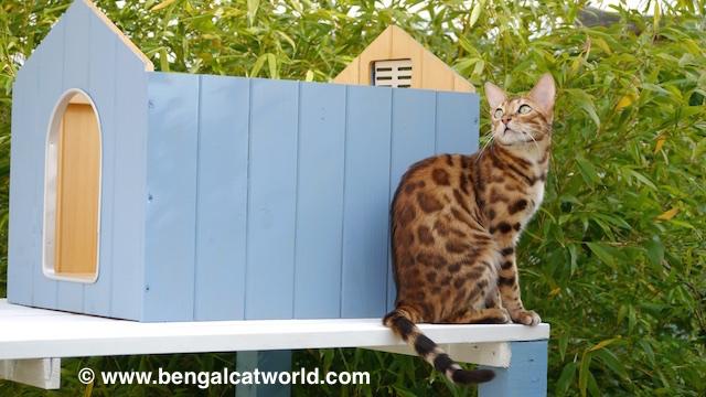 © www.bengalcatworld.com