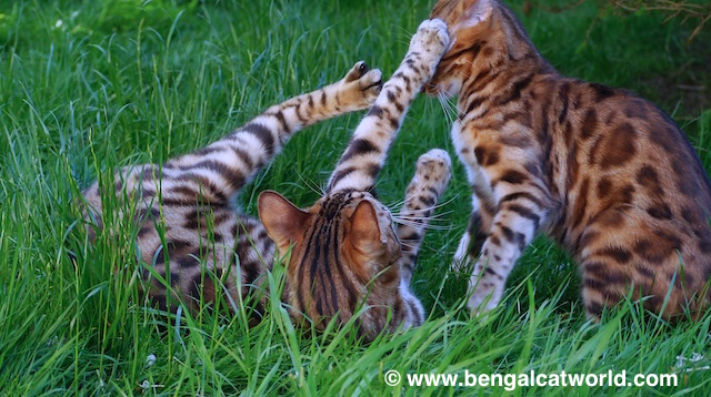 © Bengal Cat World